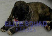 Caucasian Shepherd puppies for SALE- India - ELITE SQUAD KENNEL