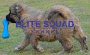 Caucasian Shepherd Female Puppy for SALE  ELITE SQUAD KENNEL  INDIA