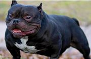 American Bully in Haryana