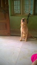 Female Labrador Adult 13 Months Old for Sale