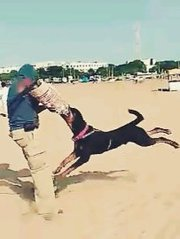 Shekas Dogs International all kinds of dogs training in Chennai