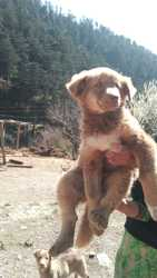 The great himalayan gaddi dog puppy